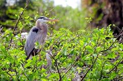 Oiseaux de héron de grand bleu dans le nid Images libres de droits