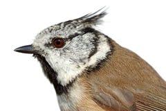 Oiseaux de l'Europe et de monde - mésange crêtée images libres de droits
