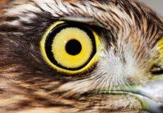 Oiseaux de l'Europe et de monde - Moineau-faucon images libres de droits