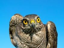 Oiseaux de l'Europe et de monde - Moineau-faucon photos libres de droits