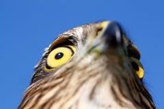 Oiseaux de l'Europe et de monde - Moineau-faucon image stock