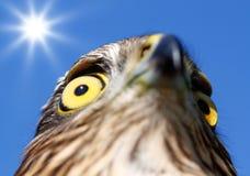 Oiseaux de l'Europe et de monde - Moineau-faucon photographie stock