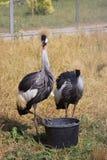 Oiseaux de la Guinée-volaille Photo libre de droits