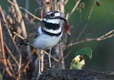 Oiseaux de la Louisiane photos libres de droits