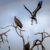 Oiseaux de Larg Images stock