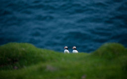 Oiseaux de macareux en Islande images stock