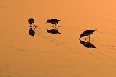 Oiseaux de marche dans l'eau sur le sable d'or Photographie stock libre de droits
