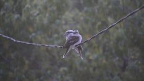 Oiseaux de martin-chasseur sur le fil banque de vidéos