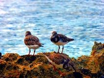 Oiseaux de mer se tenant sur des roches dans une piscine de l'eau de mer sur la plage, République Dominicaine  Image libre de droits