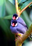 Oiseaux de moineau de Java photographie stock