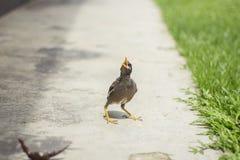 Oiseaux de Myna Photos stock