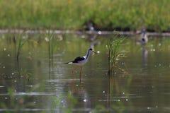 oiseaux de Noir-inclinaison alimentant dans le marais Photographie stock libre de droits
