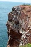 Oiseaux de observation d'élevage dans les falaises de Helgoland Images stock