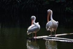 Oiseaux de pélican Photo libre de droits