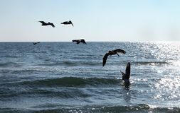 Oiseaux de pélican plongeant dans l'océan Image stock