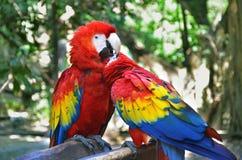 Oiseaux de perroquet d'ara images stock