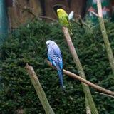 Oiseaux de perruche Perroquets Amour de perruche Images libres de droits