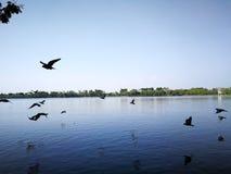 Oiseaux de pigeon volant sur le lac de nature de ciel presque Image stock