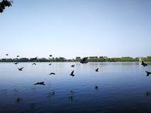 Oiseaux de pigeon volant sur le lac de nature de ciel presque Photos libres de droits