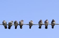 Oiseaux de pigeons Photographie stock