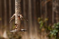 Oiseaux de pinson de câble d'alimentation et de Chambre d'oiseau Photographie stock