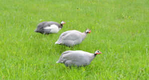 Oiseaux de pintades Photo stock