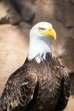 Oiseaux de proie - Eagle chauve image libre de droits