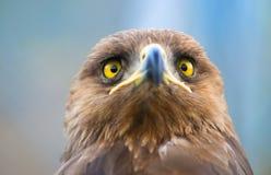 Oiseaux de proie - pomarina d'Aquila images libres de droits
