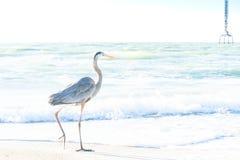Oiseaux de refroidissement de héron de grand bleu sur la plage Photos libres de droits