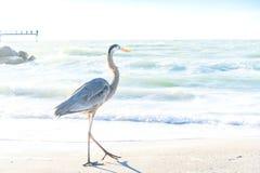 Oiseaux de refroidissement de héron de grand bleu sur la plage Image stock
