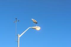 Oiseaux de refroidissement de héron de grand bleu sur le lampadaire Photos libres de droits