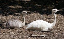 Oiseaux de Rhea Photographie stock libre de droits