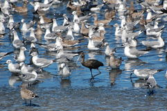Oiseaux de rivage Photo libre de droits