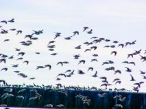 Oiseaux de rivage en vol photographie stock