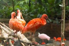 Oiseaux de ruber d'IBIS Eudocimus d'écarlate Images libres de droits