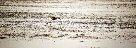 Oiseaux de stationnement national de Kakadu Image libre de droits