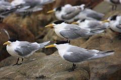 Oiseaux de sterne de sandwich Photographie stock libre de droits
