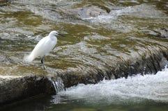 Oiseaux de Taïwan (garzetta d'egretta). Photographie stock