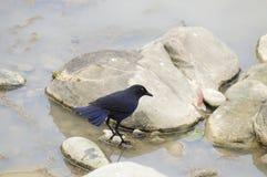 Oiseaux de Taïwan (insularis de Myiophoneus). Images libres de droits