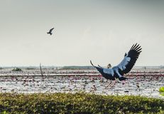 Oiseaux de vol au lac Phatthalung, Tha?lande Thalenoi images libres de droits