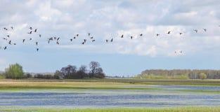 Oiseaux de vol, Lithuanie Image libre de droits
