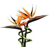 Oiseaux des fleurs de paradis Photo libre de droits