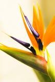 Oiseaux du paradis Photos stock