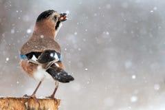 Oiseaux en hiver - geai eurasien, glandarius de Garrulus, reposant sur un bâton avec l'arachide dans son bec pendant des chutes d photo stock