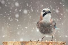 Oiseaux en hiver - geai eurasien, glandarius de Garrulus, reposant sur un bâton pendant des chutes de neige images libres de droits