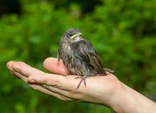Oiseaux en main Photographie stock