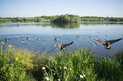 Oiseaux en vol au beau lac Manvers Image libre de droits