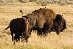Oiseaux et bison Photos stock