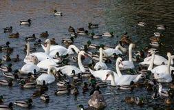 Oiseaux et canards blancs de cygne dans un lac Images libres de droits