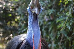 Oiseaux exotiques d'ÉMEU avec le beau cou photographie stock